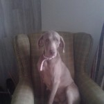 Kc Reg Weimaraner Puppy Girl