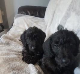 Whippet Bedlington X Minuature Poodle