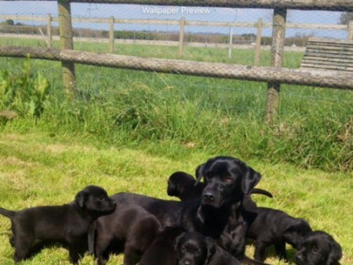 Stunning Litter Of Kc Black Labrador Pups