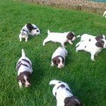 English Springer Spaniel Pups For Sale