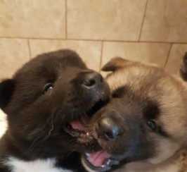 5 Adorable American Akita Puppies