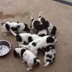 Springer Spaniels Pups