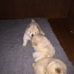 Kc Reg Chow Chow Puppies. Only 1 Dog Left