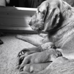Kc Registered Hungarian Wirehaired Vizsla Puppies