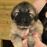 Caucasian Mountain Shepherd Puppies
