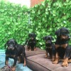 Pets  - Gorgeous Dobermann Puppies For Sale