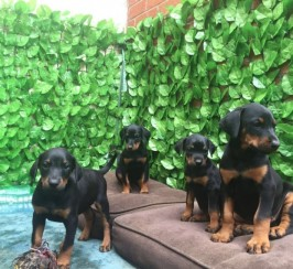 Gorgeous Dobermann Puppies For Sale