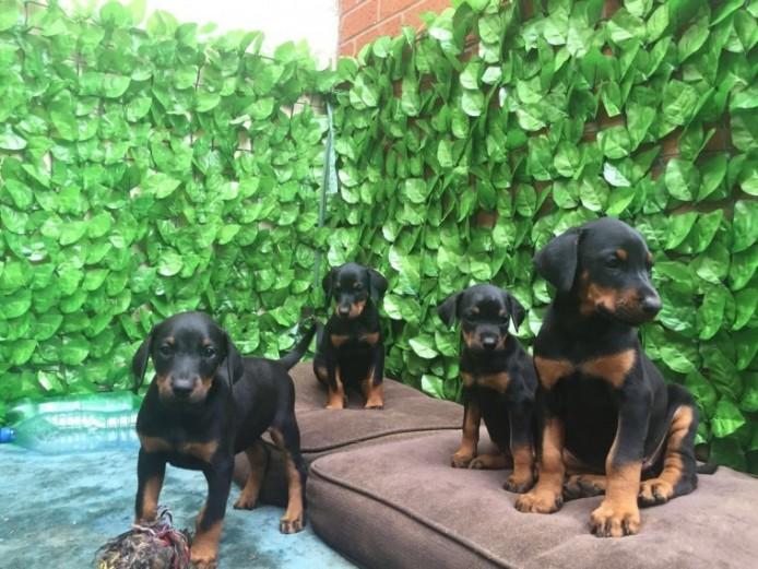 Gorgeous Dobermann Puppies For Sale