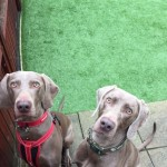 Beautiful Kc Registered Weimaraner Puppies