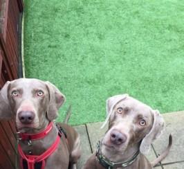 Beautiful Kc Registered Weimaraner Puppies
