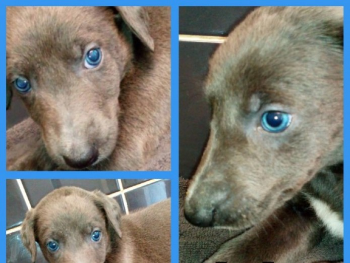 Beautiful Puppies Stunning Blue..s And Blue Lines