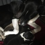 Lurcher Pups For Sale