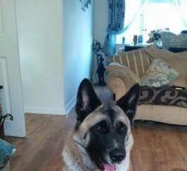 8 Akita Pups For Sale.