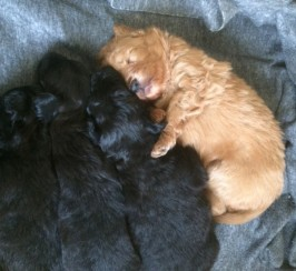Pomeranian X Poodle