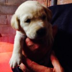 4 Beautiful Labrador Puppies For Sale