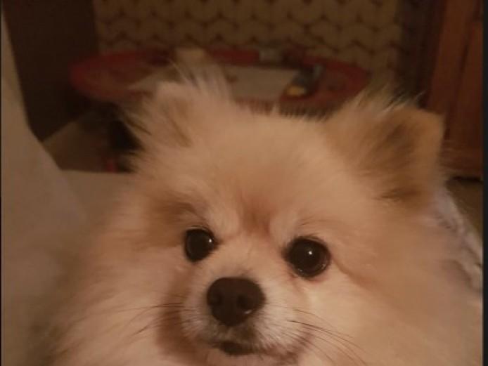 1 Amazing Tiny Pomchi Pup