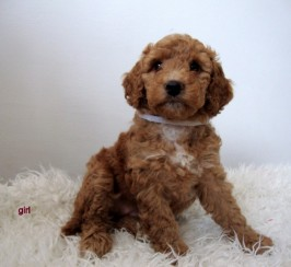 F1b Cockapoo  Puppies