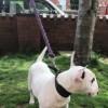 Pets  - English Bull Terrier Pups