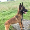 Pets for Sale - Belgian Malinois . Excellent Running Partner