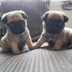 2 Male Kc Registered Pug Puppies