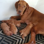 Docked And Dew Clawed Gorgeous Hungarian Vizsla Pu
