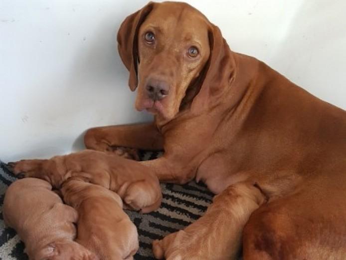 Gorgeous Kc Registered Vizsla Puppies.