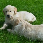 Lovely Golden Retriever Pups