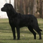 Ready Now Superior Pedigree Black Labrador Pups