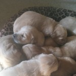 Beautiful Golden Retrievers. Kc Registered