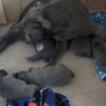 Blue Kc Staffordshire Bull Terrier Pups