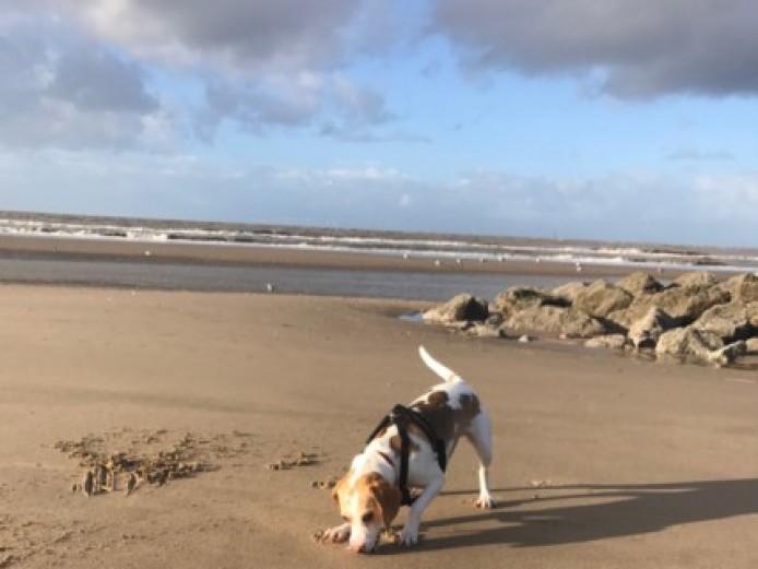 Beautiful Boy Beagle