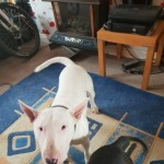 English Bull Terrier For Sale