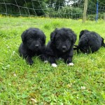 Colliepoo.colliedoodle Puppies F1