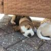 Pets  - Beautiful Beagle Puppies