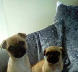 Pets  - Pug X Jackrussall