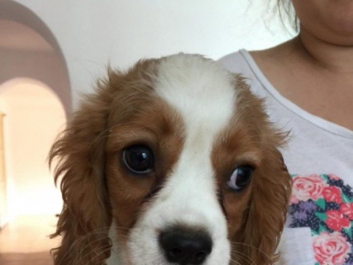 Gorgeous Cavalier King Charles Spaniels For Sale