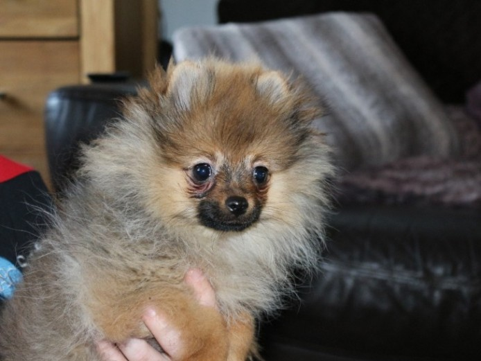Kc Reg Pomeranian Boy Puppy