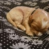 Pets  - Stunning Litter Of F1 Cavapoo Pups For Sale