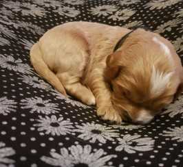 Stunning Litter Of F1 Cavapoo Pups For Sale