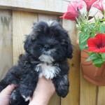 Lhasa Poo Puppies 4 Sale