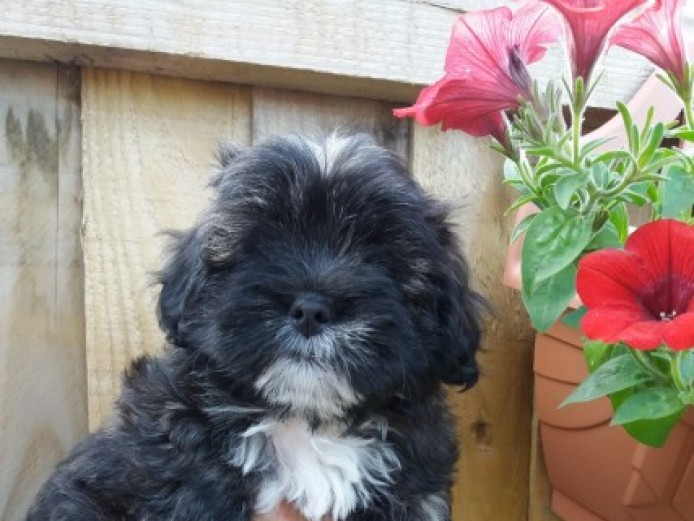 Lhasa Poo Puppies 4 Sale
