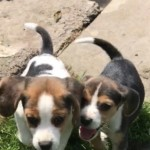 Pure Beagle Puppies Eligible For Kennel Club Reg