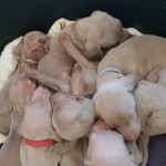 9  Gorgeous  Kc Registered  Weimaraner Pups
