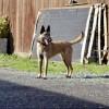 Pets  - Lurcher Pups . 3.4 Greyhound 1.4 Deerhound X Malli