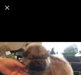 3 Kc Registered Male Chow Chow Puppies