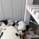 Stunning Dalmatian Cross Puppies For Sale