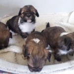 Lhasa Apso Female Pups