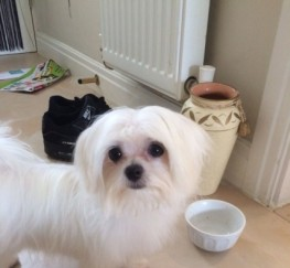 Pets  - Beautiful Lhasa.maltese Puppys Ready Now