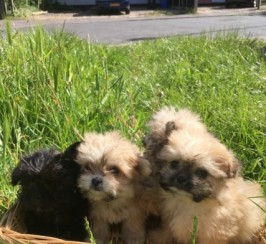Shih Tzu X Chihuahua Girls Ready Now