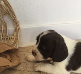 Spaniel Pups Only 2 Left Ready June 17th